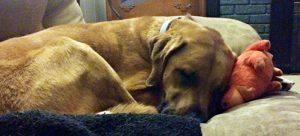 dog piggy snuggle impressart