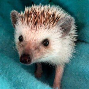 PokeyNibbles the hedgehog
